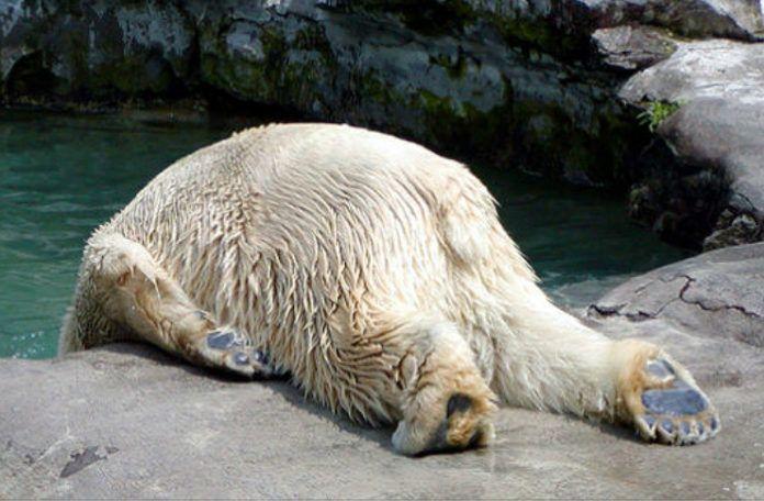 Niedźwiedż zawieszony głową poza krawędzią lądu
