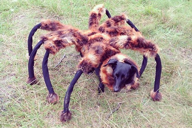 pies pająk