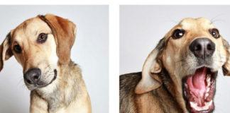 Dwa zdjęcia biszkoptowo umaszczonego psa