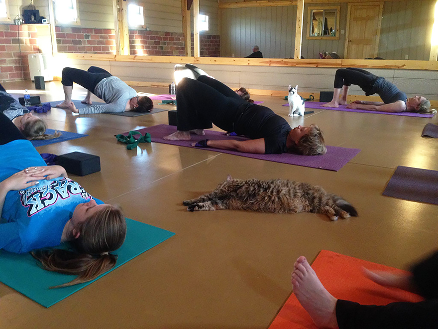 yoga-cats-shelter-adoption-homeward-bound-2