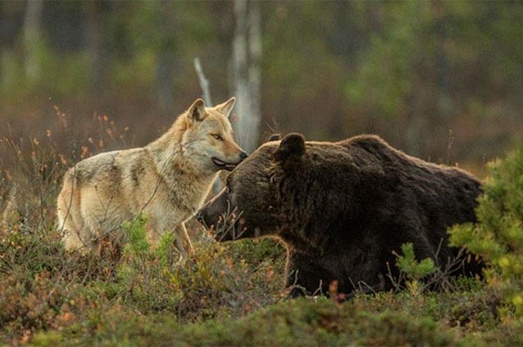 rare-animal-friendship-gray-wolf-brown-bear-lassi-rautiainen-finland-18