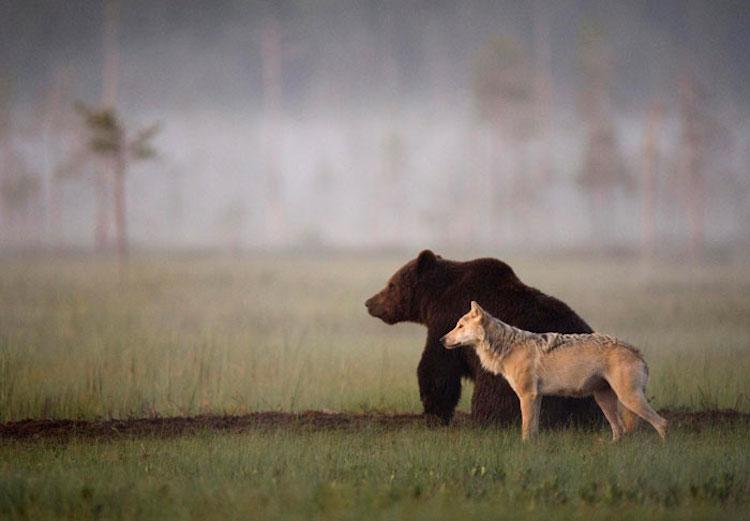 rare-animal-friendship-gray-wolf-brown-bear-lassi-rautiainen-finland-91