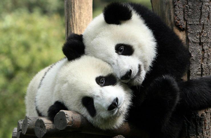pandy.jpg
