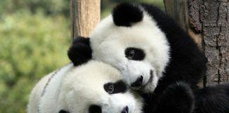 dwie pandy