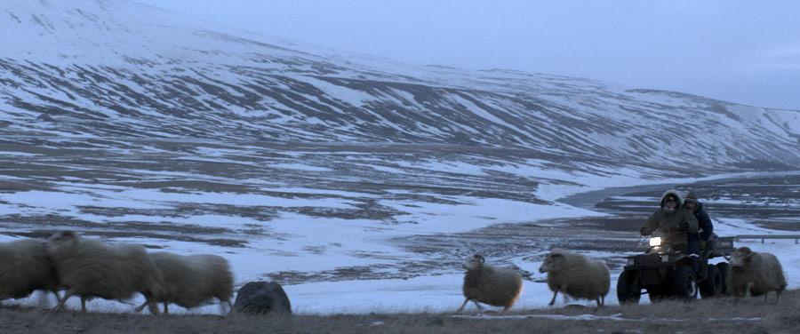 krajobraz islandzki zimą śnieg i barany