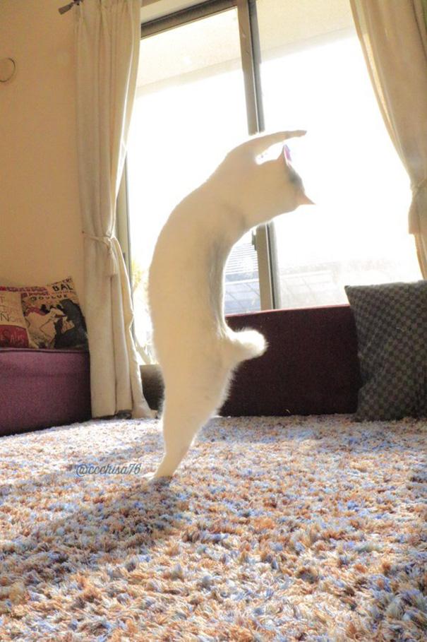 kot na dwóch łapach wygięty do tyłu