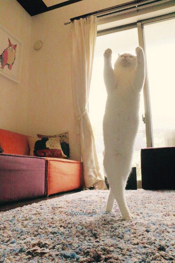 kot na dwóch łapach z wyciągniętymi przednimi łapkami do góry