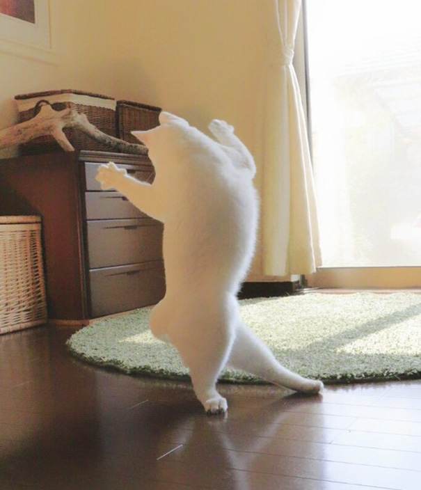 kot na tylnych łapach robiący obrót