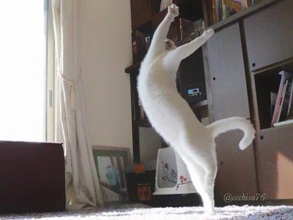 kot na tylnych łapach robiący zamach