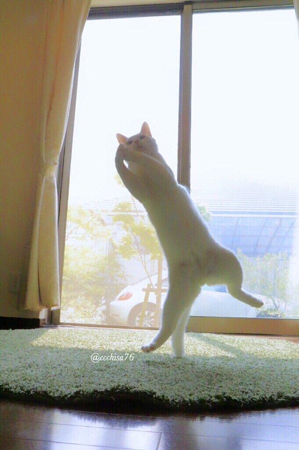 kot stojący na jednej tylnej łapie