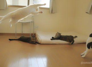 biały kot wykonuje skok, a trzy pozostałe mu się przyglądają