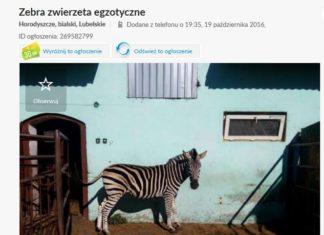 Zebra na tle niebieskiej ściany z olx-a