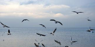 Mewy nad wodą