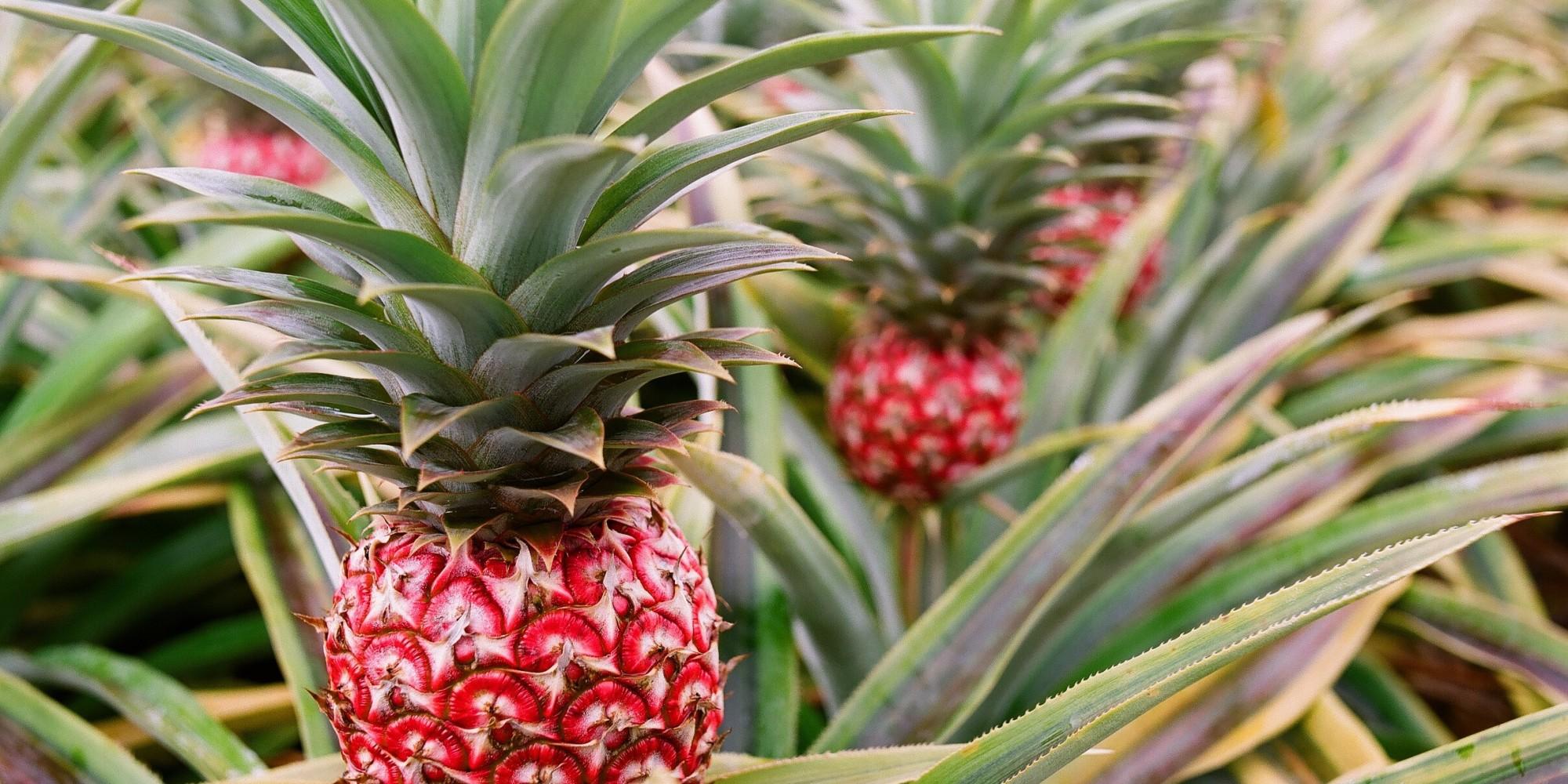 Zdjęcie przedstawiające trzy ananasy rosnące na krótkich łodygach wśród kolczastych liści.