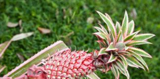 Zdjęcie rosnącego na łodyce różowego ananasa z kolczastą koroną zielono-różowych liści.