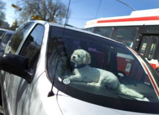 Pies zamknięty w samochodzie latem