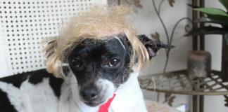 Na zdjęciu pies w czerwonym krawacie i peruce przypominającej włosy Donalda Trumpa