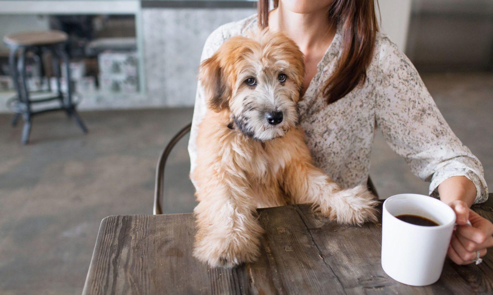 Fotografia kolorowa ukazująca psa siedzącego przy stole, na którym stoi biały kubek z kawą. Pies jest kudłaty w kolorze beżowo-karmelowym.