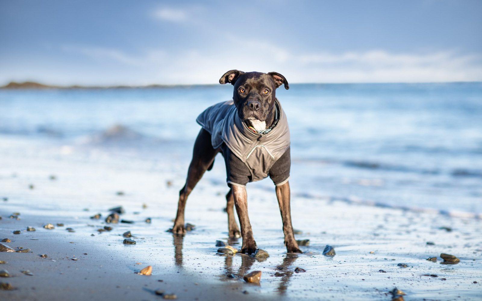 Fotografia kolorowa, na tle morze stoi brązowy pies ubrany w czarną kurteczkę.