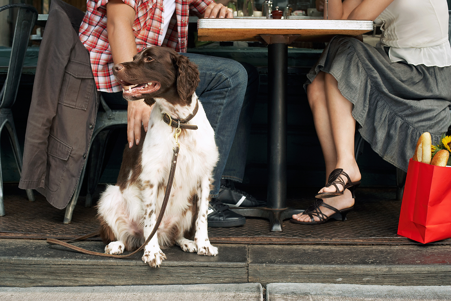 Fotografia kolorowa ukazująca biało brązowego psa o długiej sierści siedzącego przy stole. Kadr ukazuje jedynie psa oraz nogi właścicieli siedzących przy stole.