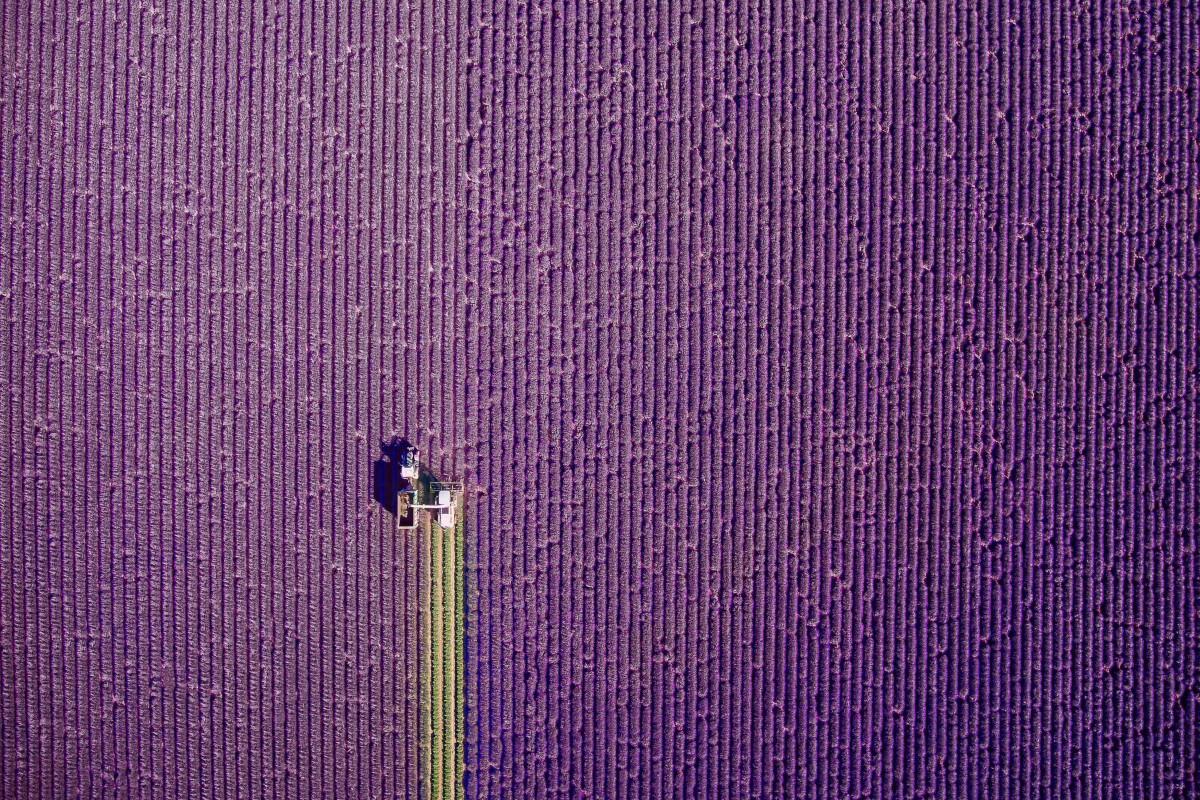 Zdjecie zrobione w ramach International Drone Photography Contest. Uchywcone zlotu ptaka pole lawendy, której został skoszony jeden wąski pasek. Lavenda kontrastuje tutaj z zielonym paskiem.