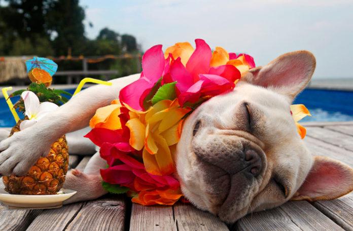 Fotografia kolorowa. Na zdjęciu leży pies, buldog francuski, ubrany w naszyjnik z kwiatów, a obok jednej łapki widać koktajl z parasolką w ananasie