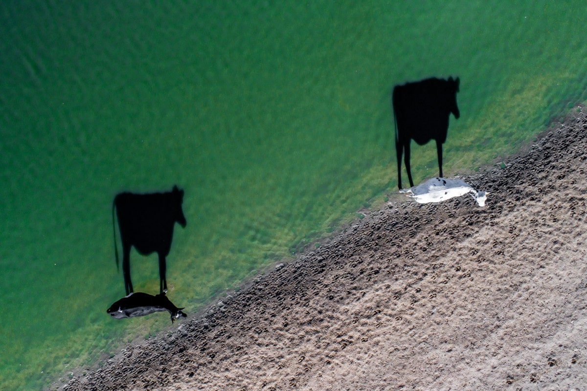 Zdjecie z lotu ptaka, ktore przedstawia dwie krowy chodzace nad brzegiem wody. Jedna jest czarna, druga biała. Na wodzie odbija się ich dobrze widoczny cień. A kolor piasku widocznie kontrastruje z kolorem wody.