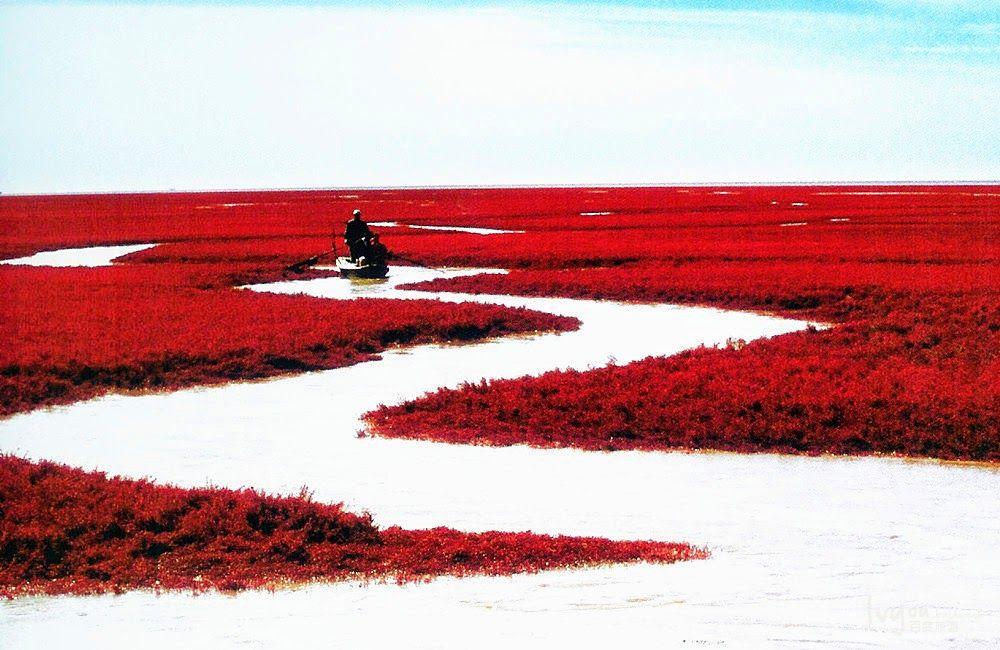 Wijący się strumien rzeki pomiędzy czerwonymi wodorostami sueda na chinskiej plaży. Widać łódkę płynąca.