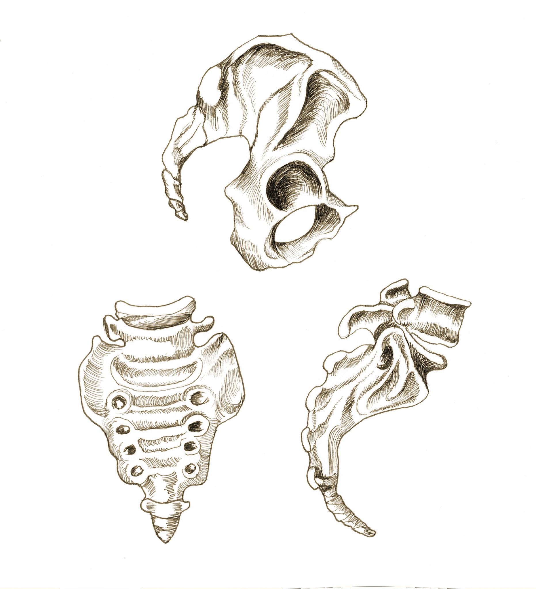 Rysunek szkieletu miednicy i kości ogonowej