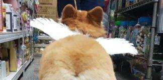 Zdjęcie od tyłu puszystego psa, który ma na sobie skrzydła anioła.