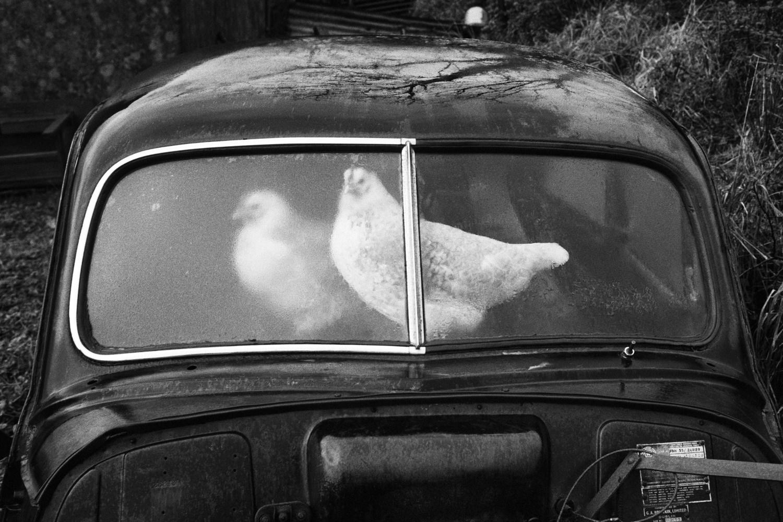 Zdjęcie kurczaków, siedzących w aucie.