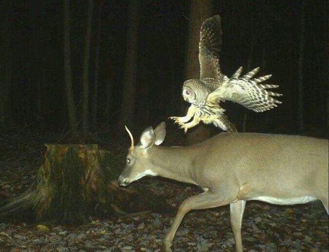 Sarna i sowa nocą w lesie