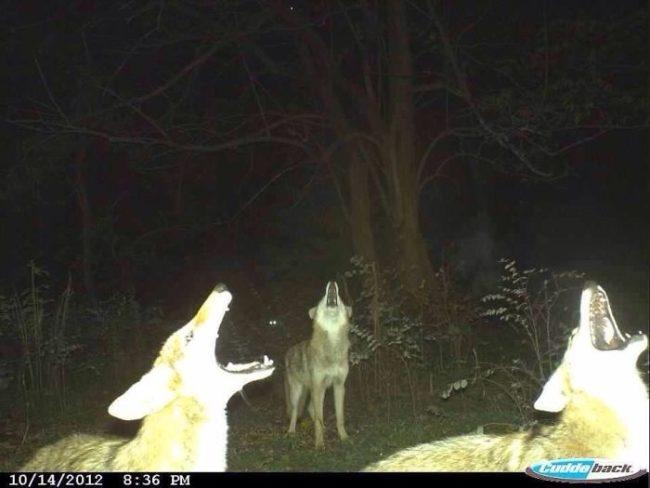 Wilki wyące do księżyca nocą w lesie