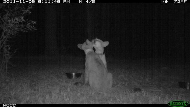Dwa rysie nocą w lesie