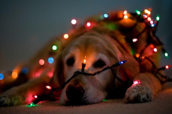 Pies przykryty łańcuchem światełek.