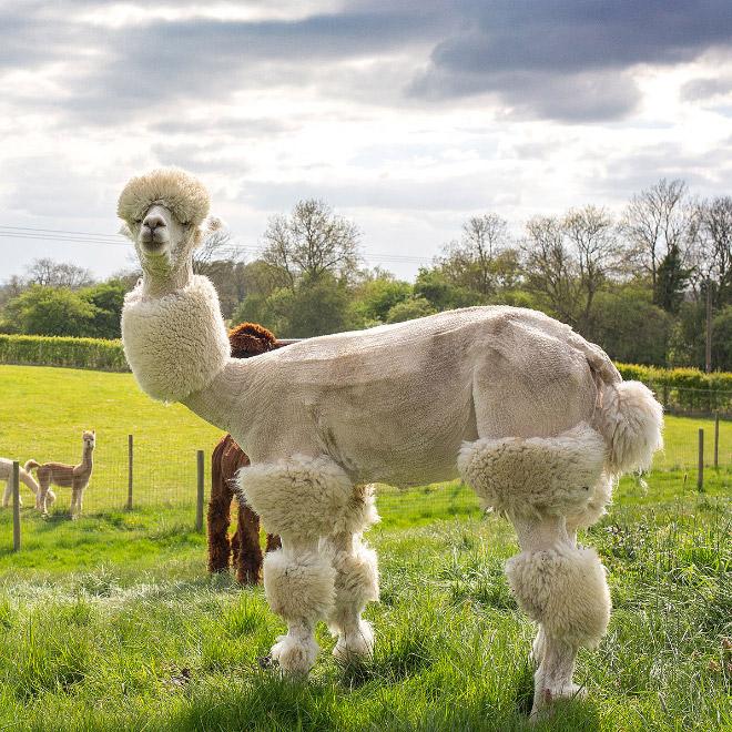 Wystrzyżona biała alpaka stojąca na polanie