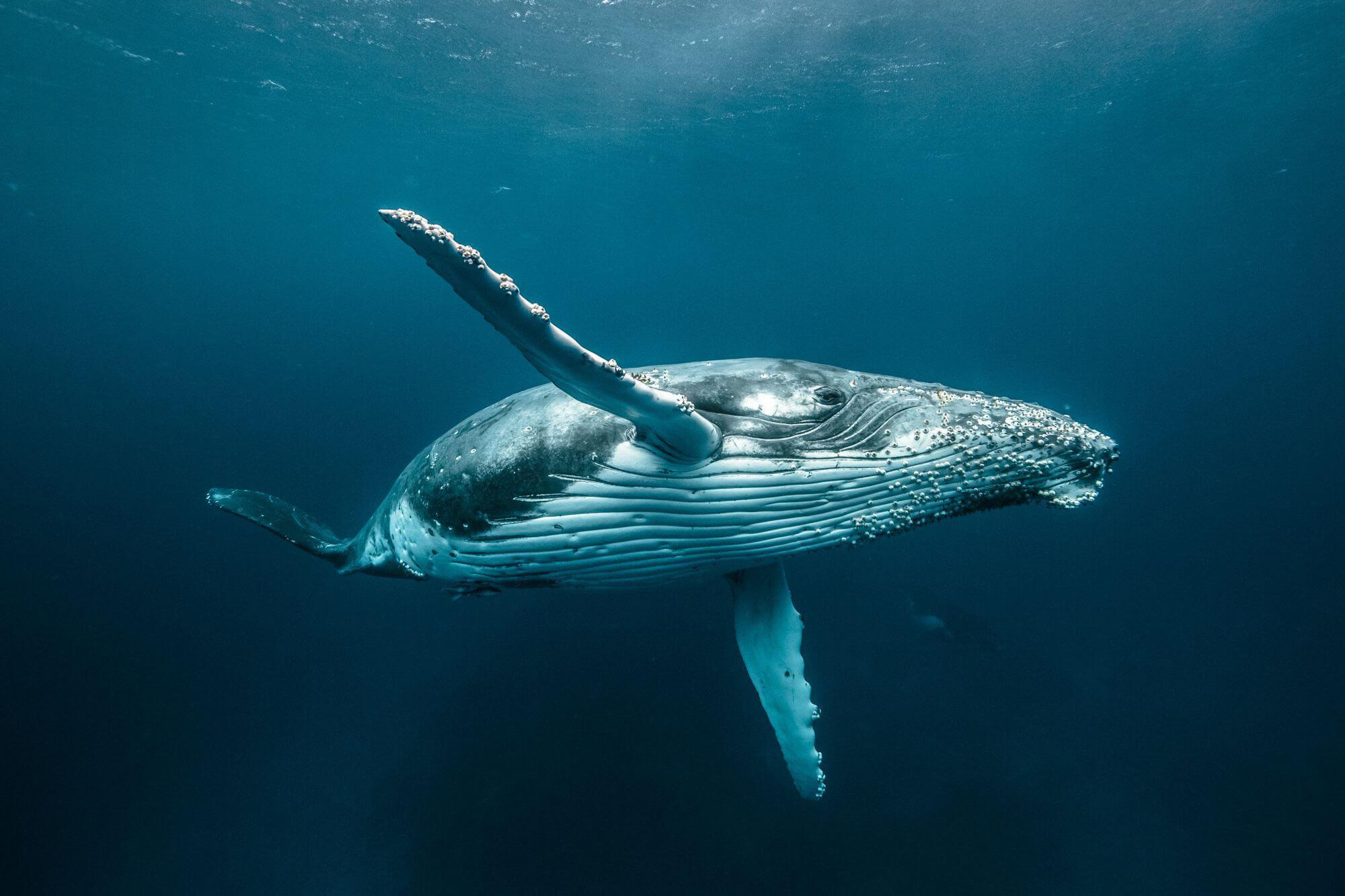 morski ssak plywajacy w oceanie