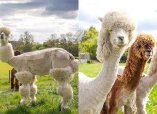 Dwa zdjęcia przedstawiające alpaki