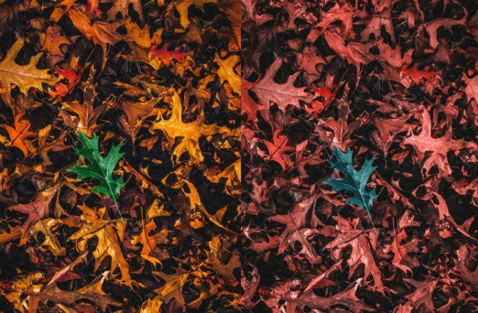 Dwa te same zdjęcia leżących na ziemi liści