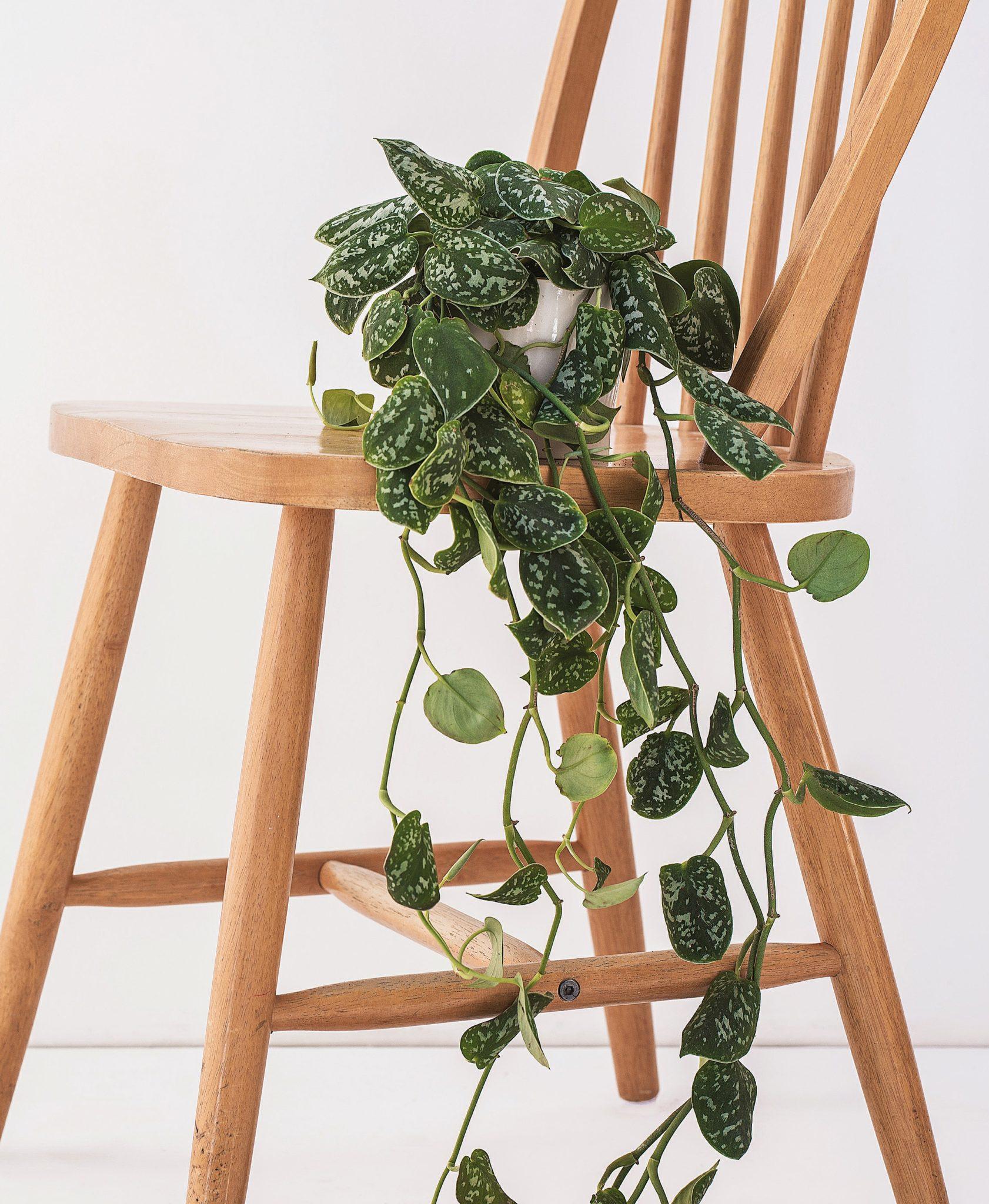 Zielona roślina postanowiona na drewnianym krześle