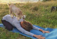 Koza stojąca na plecach kobiety ćwiczącej jogę