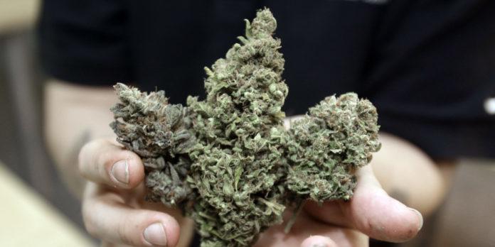 Kwiat marihuany trzymany w dłoniach