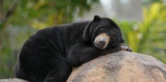 Niedźwiedź spiący na skale