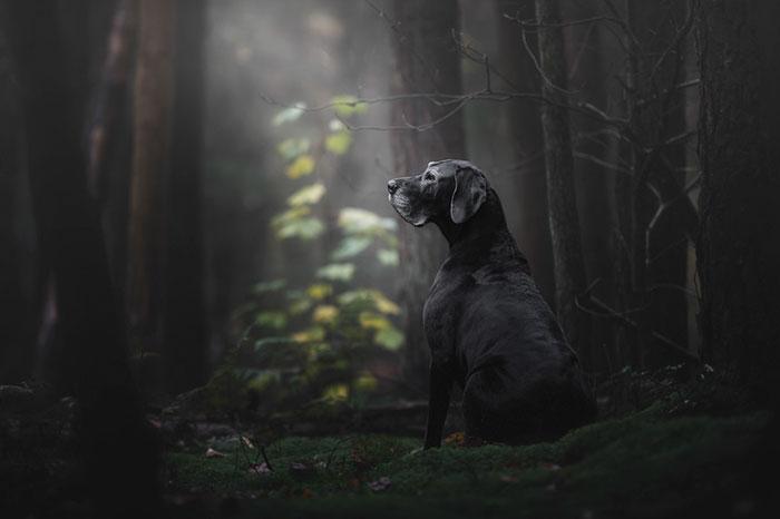 czarny duży pies siedzi w lesie ze zwróconą głową w lewo