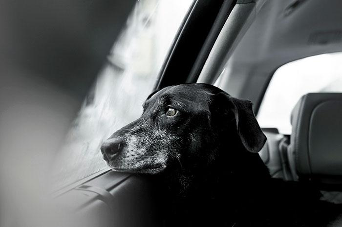 czarno białe zdjęcie, czarny pis patrzy przez okno na zewnątrz pojazdu