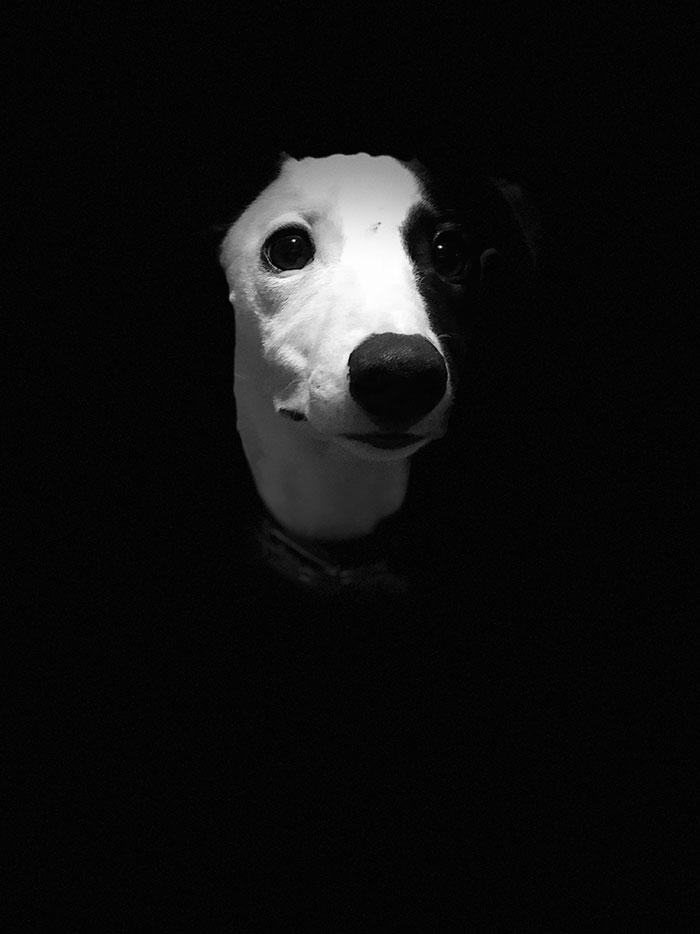głowa czarno-białego psa z punktowym światłem tylko na pysk