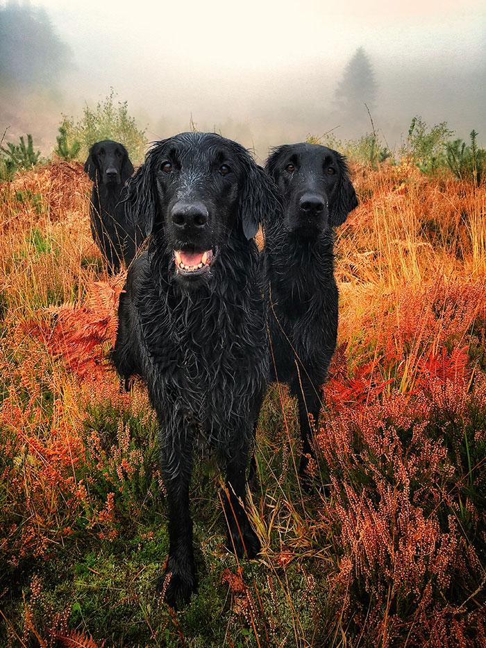 trzy czarne psy stojące w polu w deszczową mglistą pogodę