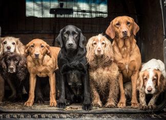 6 psów siedzących na pace auta patrzące się w obiektyw