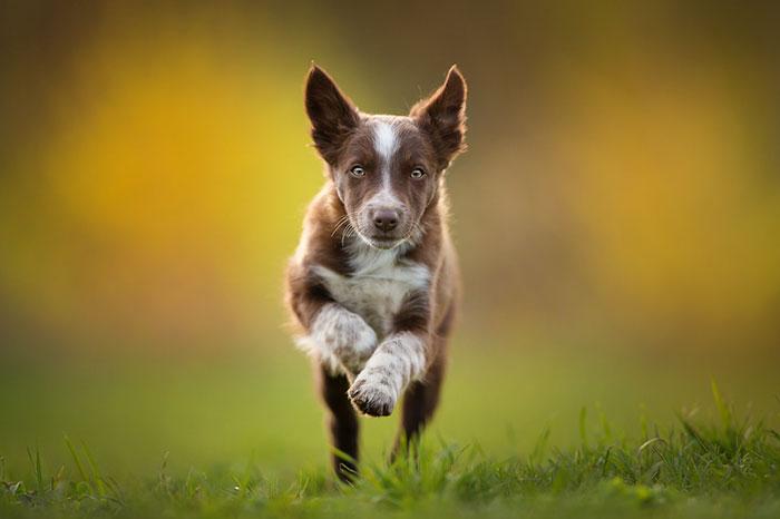 mały pies biegnący w stronę fotografa, rozmyte tło