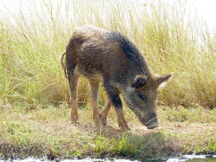 Dzika świnia z Australii wśród wysokich traw